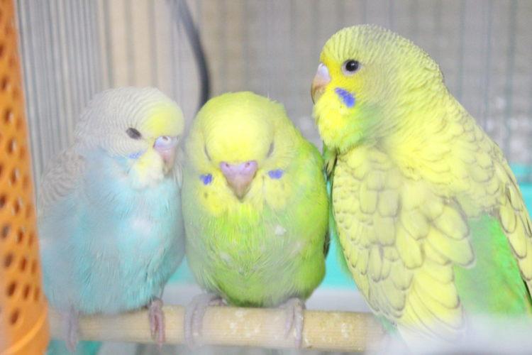 小鳥&小動物ショップ そら セキセイインコ