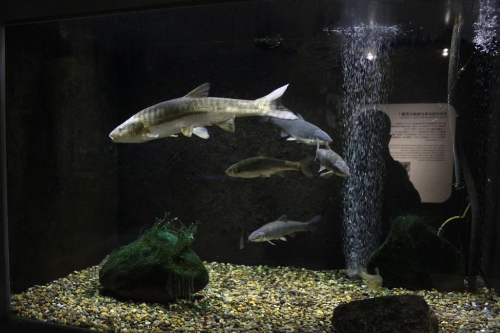 アクアマリンいなわしろカワセミ水族館④
